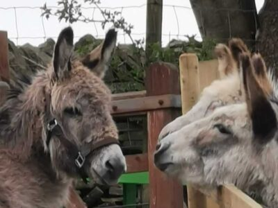 Finding & Buying a Donkey